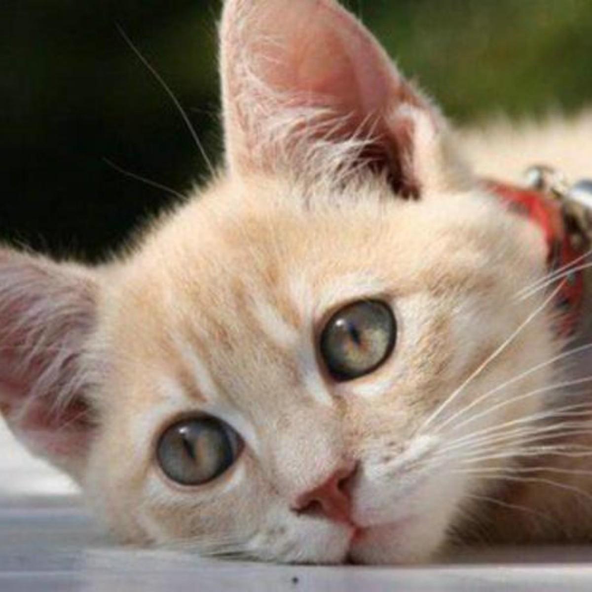 sarna por acaros en gatos