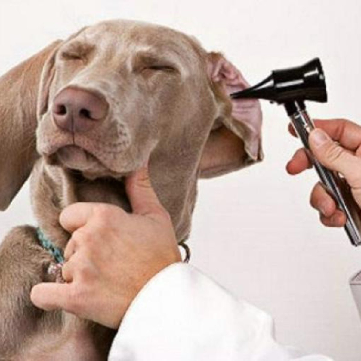 Cómo eliminar la infección por levaduras en el oído del perro