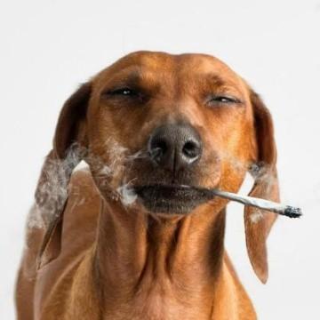 El humo del cigarrillo es letal para las mascotas   ELIMPARCIAL.COM    Noticias de Sonora, México