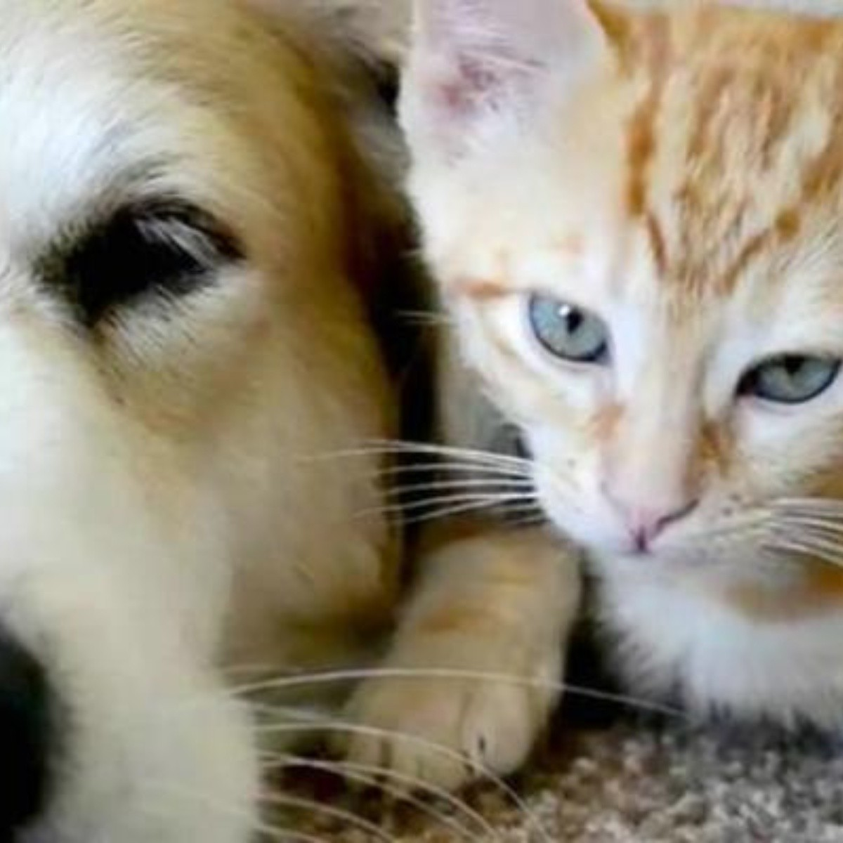 infección ocular e inflamación de los ganglios linfáticos en perros