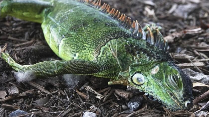 Las iguanas no son peligrosas ni agresivas con los humanos, pero dañan diques marinos, aceras, follaje decorativo y pueden excavar extensos túneles.(AP)