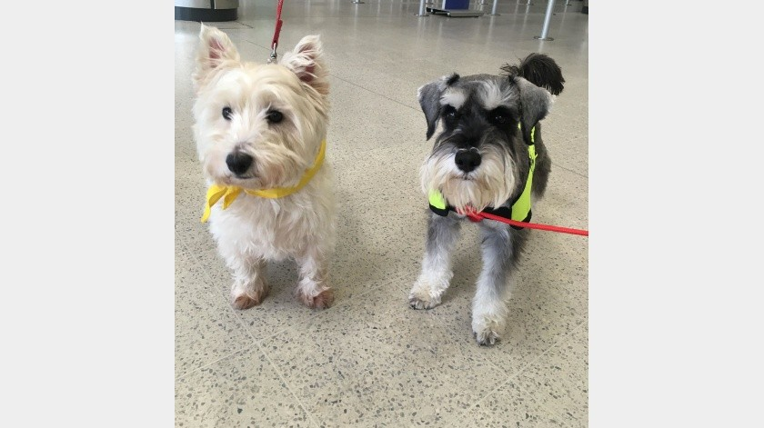 Estos caninos ya son llevados a hogares de ancianos, escuelas, prisiones y universidades para ayudar a calmar los nervios y reducir el estrés.(@CanineConcern)
