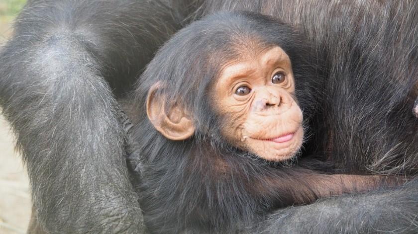 Se han rescatado chimpancés huérfanos de la caza furtiva para intentar cortar esas líneas de tráfico.(Pixabay)