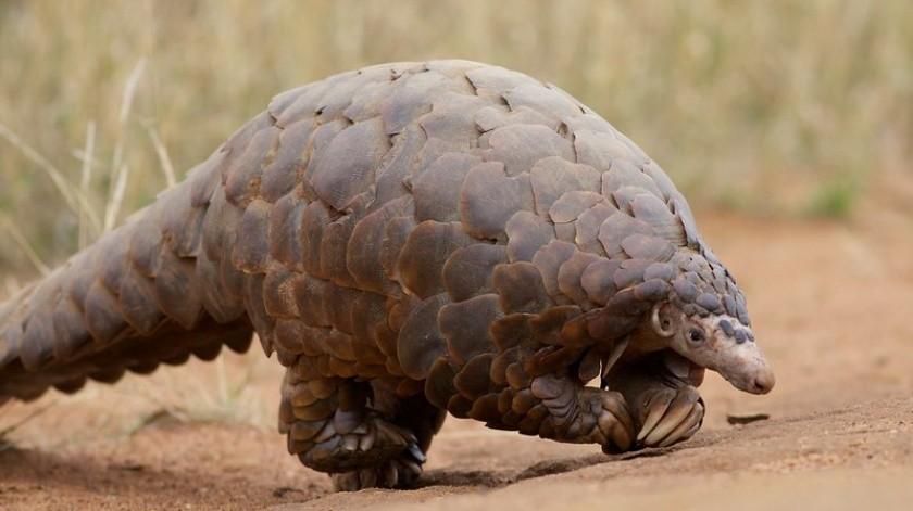 El pangolín a menudo es confundido como reptil pero en realidad es un mamífero de piel escamosa.(Flickr/David Brossard)